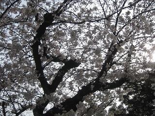 0405-sakura.jpg