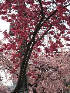 0325-sakura.JPG